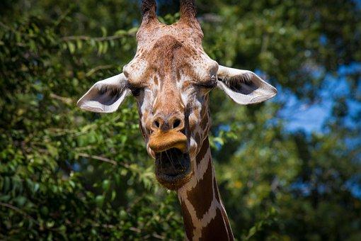 Giraffe, Animal, Zoo, Headphones, Fauna, Long Neck