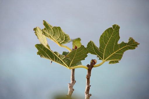Fig Tree, Leaf, Green, Tree, Fig Leaf, Ramifications