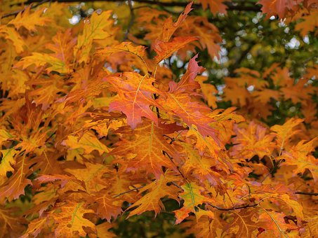 Leaves, Fall, Nature, Autumn Leaves, Tree Leaf, Foliage