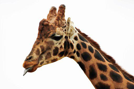 Giraffe, Long Neck, Mammal, Animal, Africa, Nature