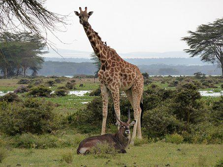 Giraffe, Africa, Safari, Wildlife, Wildlife Photography