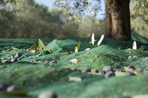 Olive Harvest, Oil, Oliva, Branches, Nature, Green