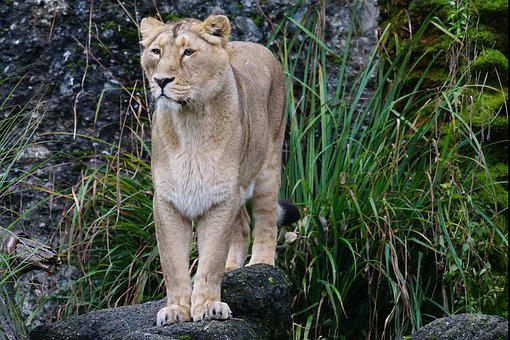 Lion, Indian Lion, Female, Predator, Cat, Panthera Leo