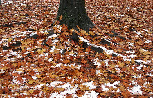 First Snow, Leaves And Snow, American Oak, Log
