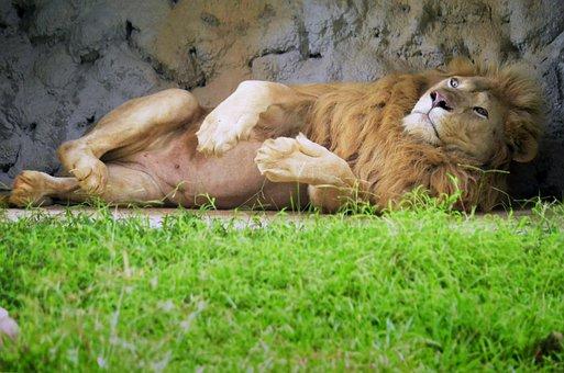Lion, Animal, Wild, Cat, Big, Wildlife, Nature