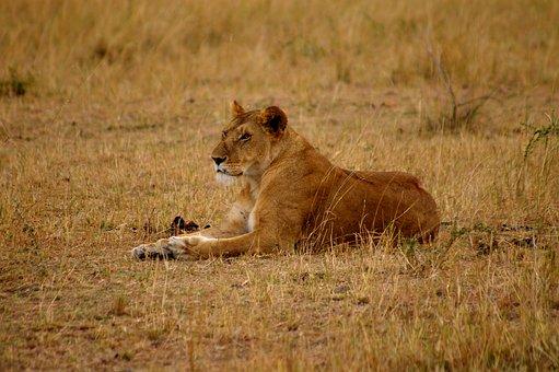 Lion, Lioness, Cat, Predator, Lion Females, Africa