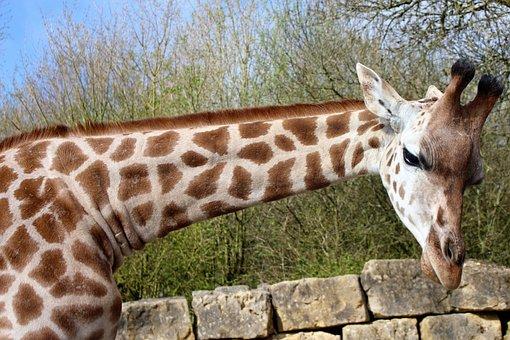 Giraffe, Long Neck, Animal, Africa, Nature, Mammal