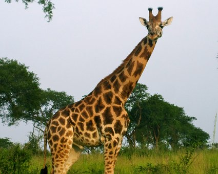 Africa, Giraffe, Wildlife, Safari, Nature, Wild, Animal