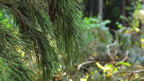 Pine, Spruce, Pine Cone, Needles, Iglak