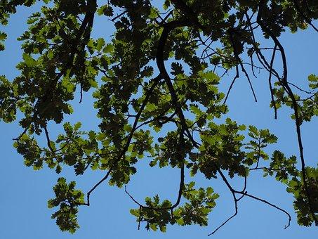 Oak Leaves, Aesthetic, Branches, Oak, Tree, Fluff Oak