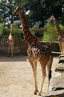 Zoo, Animals, Giraffe, Tree, Water, Park, Animal Park