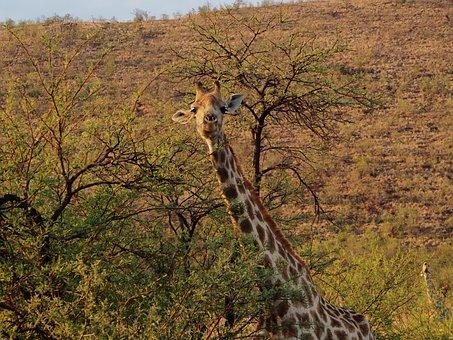 Giraffe, Gauteng, South Africa, Pilanesberg, Safari
