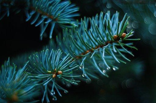 Autumn, Pine, Green, Nature, Closeup, Tree, Forest