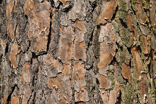 Tree, Bark, Nature, Pine, Environment, Wood, Forest