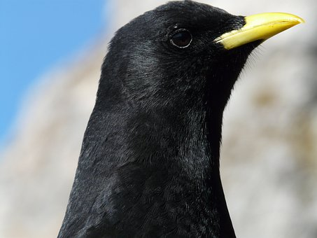 Chough, Bird, Black, Bill, Pyrrhocorax Graculus