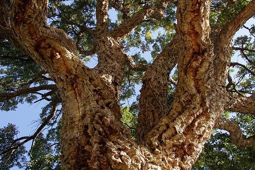 Oak, Cork, Quercus Suber, Evergreen, Tree, Trees, Bark