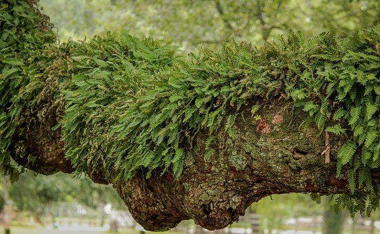 Resurrection Fern, Epiphyte, Air Plant, Creeping Fern