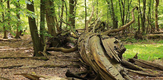 Forest, Root, Nature, Tree, Tree Root, Old Root, Morsch