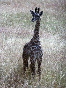 Giraffe, Wild, Tanzania, Serengeti, Safari