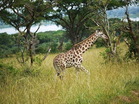 Giraffes, Uganda, Savannah, Young Animal