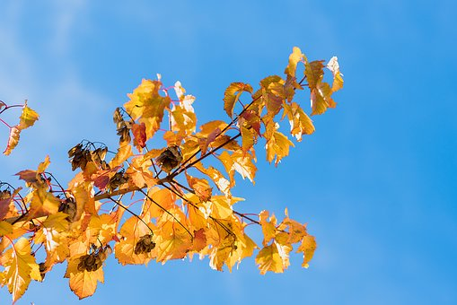 Leaves, Autumn, Brunches, Sky, Blue, Autumn Leaves