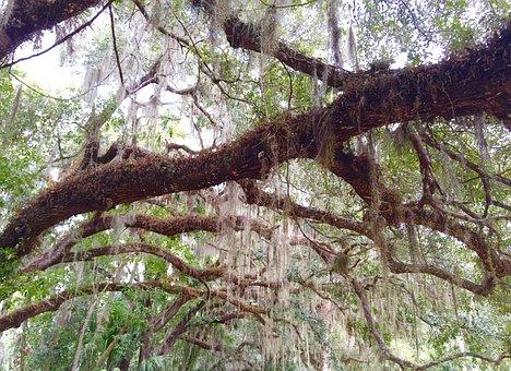 Tree, Oak, Moss, Sky, Oak Tree, Big, Spanish Moss
