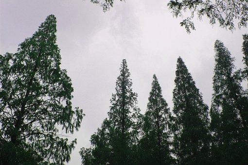 Tree, The Branches, Sky, Autumn, Metasequoia