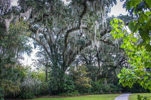 Spanish Moss, Epiphyte, Southern Live Oak Tree, Garden