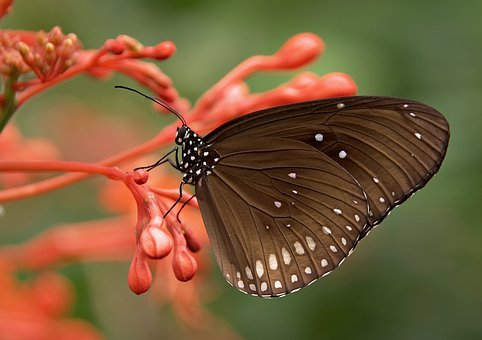 Striped Core, Butterflies, Butterfly, Brown, Insect