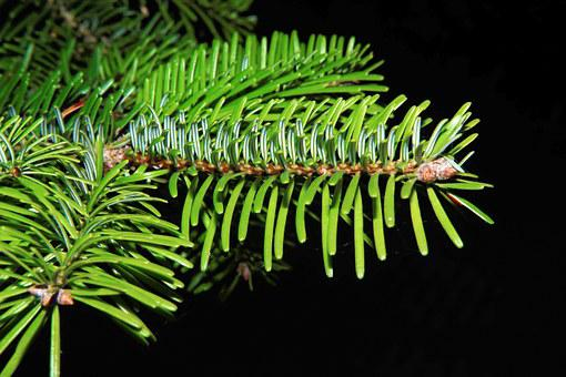 Tannenzweig, Needles, Green, Fir Tree, Branch