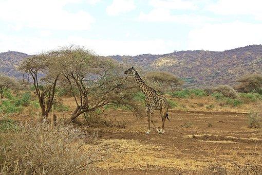 Giraffe, Safari, Tanzania, Ngorongoro, Crater, Nature
