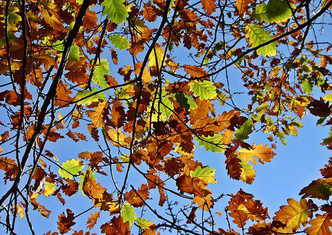 Fall Foliage, Oak Leaves, Oak, Leaves, Tree, Colorful