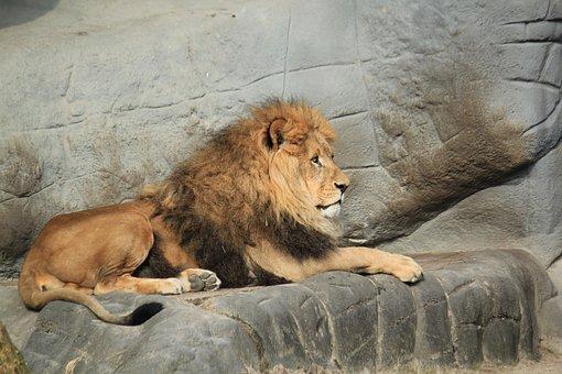 Lion, Animal, Zoo, Males, Wild Animals, Cat, Big Cat