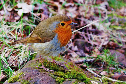 Bird, Robin, Nature, Red, Small, Animal, Beak, Wild