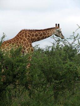 Female, African, Male, Giraffe, Animal, Fauna, Wildlife