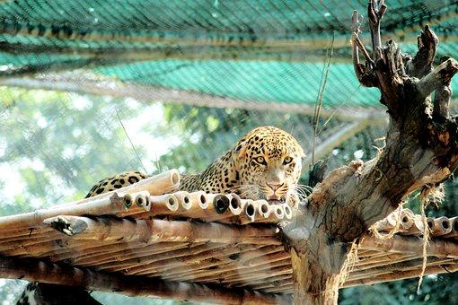 Tiger, Animals, Nature, Wildlife, Wild, Cat, Striped
