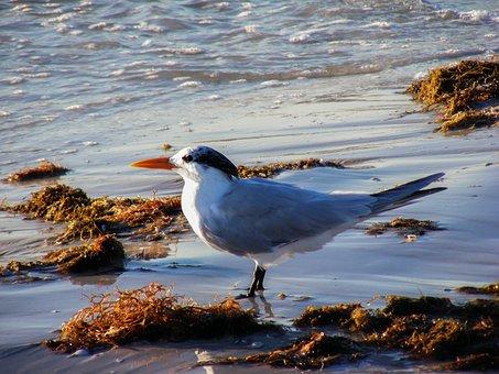 Royal Tern, Bird, Animal, Wildlife, Wild, Beach, Nature