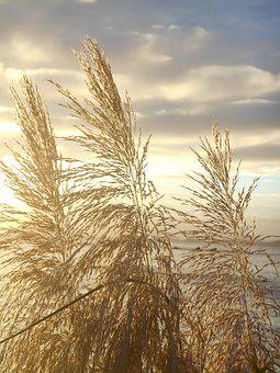 Japanese Silver Grass, Sunset, At Dusk, Sea, Views