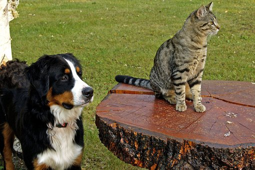 Bernese Mountain Dog, Canine, Tabby, Striped, Cat