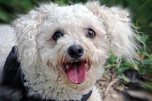 Bichon Frise, Bichoh, Dog, Head, Portrait, Pet