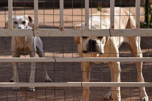 Dog, Guard Dog, Cane Corso, Canecorso, Behind Barriers
