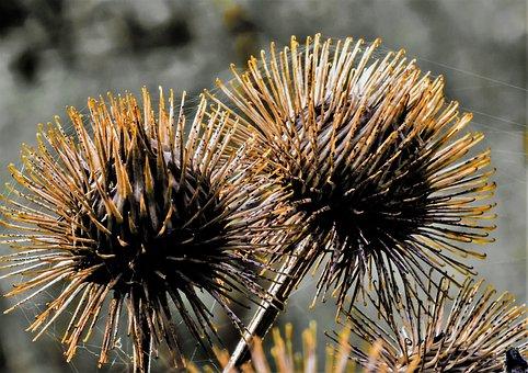 Diestel, Card, Medicinal Plant, Nature, Meadow
