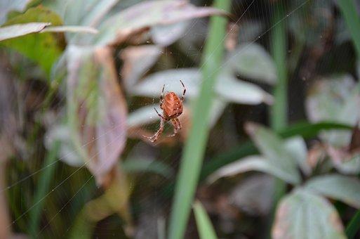 Spider, Cross Orbweaver, Araneus Diadematus, Orbweaver