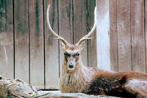 Deer, Japanese Deer, Sika, Sika Deer, Noble, Animal