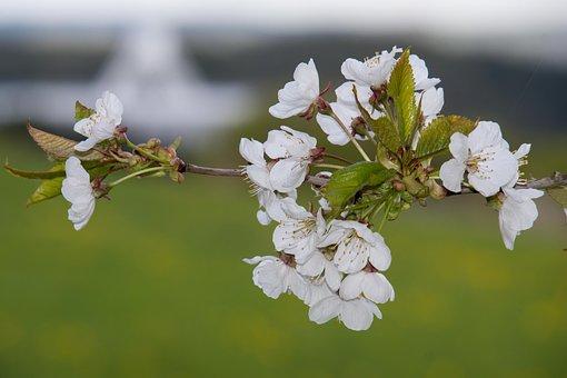 Cherry Blossom, Radio Telescope, Effelsberg, Flowers