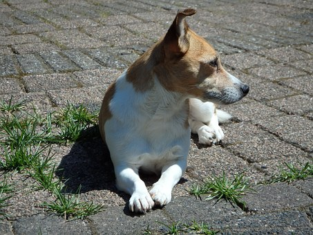 Dog, Garden, Jack Russell, Grass, Animals, Pet, Green