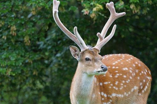 Sika Deer, Hirsch, Noble Deer, Mammal, Points