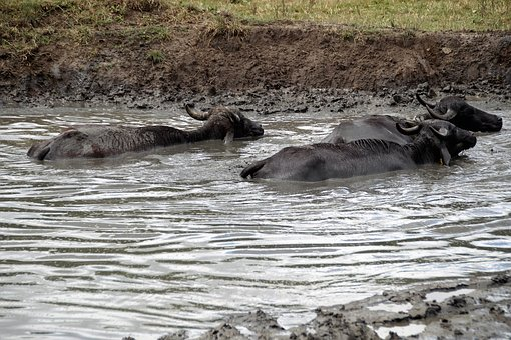 Buffalo, Mud, Take A Bath, Female, Scot, Tur