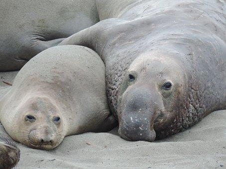 Seeelefant, Sea Lion, Friendship, Partnership, Embrace
