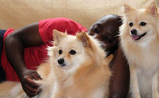 Dog, Man, Maltese, Pomeranian, Donation, Stroke